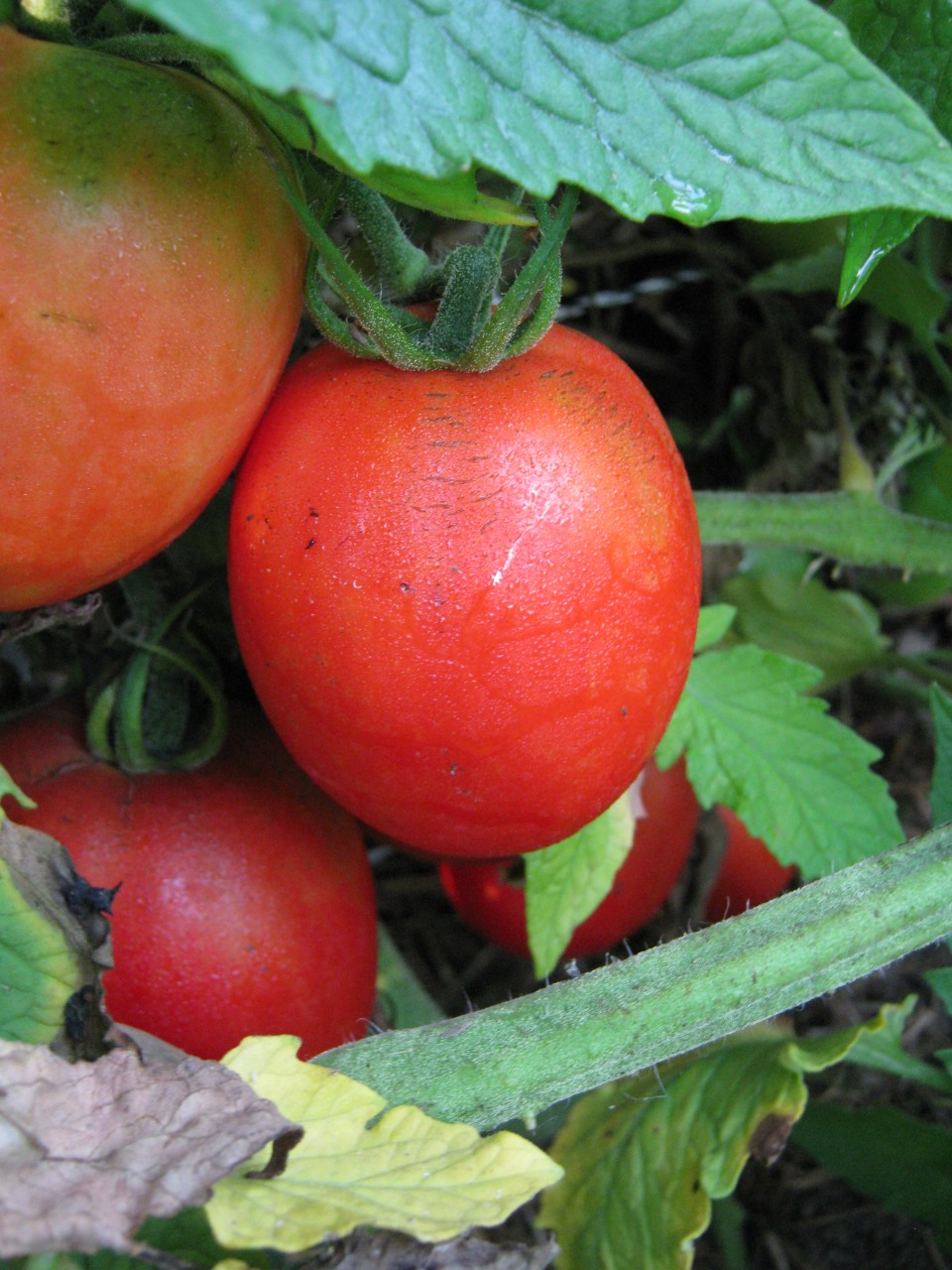 Heirloom Tomatoes That Grandma Used To Grow Amp Sources To