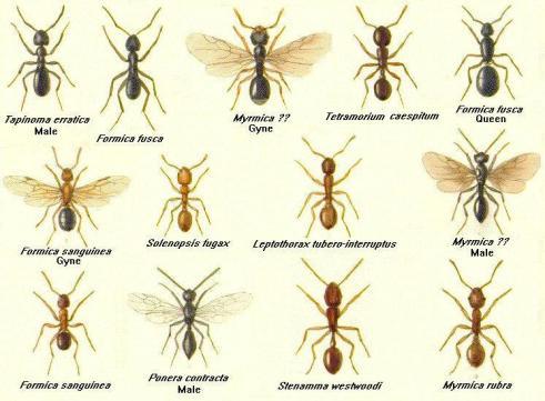 Pharaoh ants borax, drywood termites vs carpenter ants
